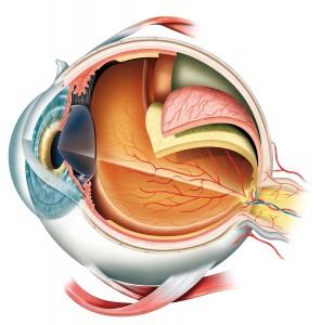 Anatomie oog optometrist
